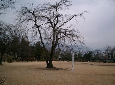 400sakura2.jpg